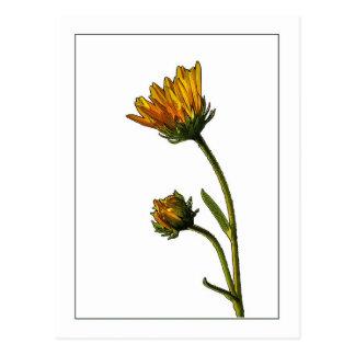 Swamp Sunflower  Botanical Photo-Sketch Postcard