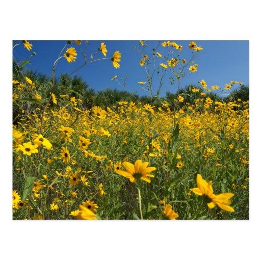 Swamp Sunflowers Post Card