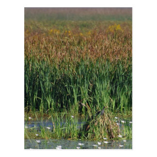 Swamps Reeds Post Card