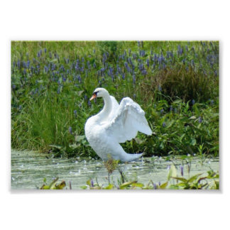 Swan 7 x 5 Photographic Print