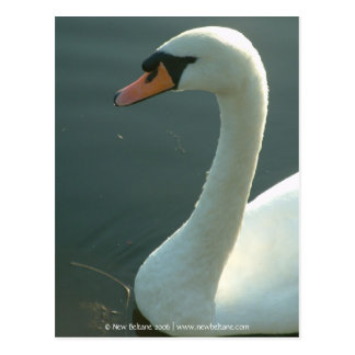 Swan [Adult] Post Card