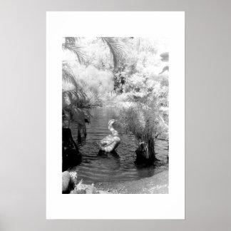 Swan at the Garden of Eden Poster