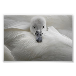 Swan, Beautiful White Feathers, Beauty Comfort Photograph