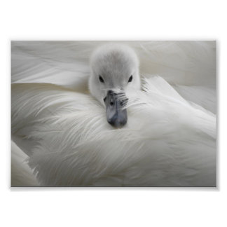 Swan, Beautiful White Feathers, Beauty Comfort Photo Print