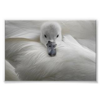 Swan, Beautiful White Feathers, Beauty Comfort Photograph