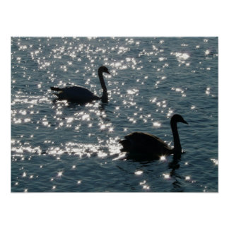 Swan couple in sunlight poster