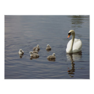 Swan family in water poster