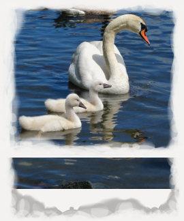 Swan Family ~ T Tee Shirt