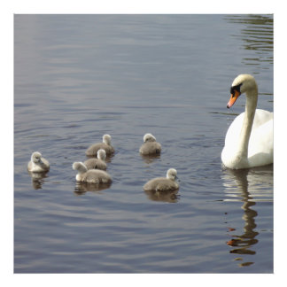 Swan Family with mom and ducklings or cygnets Art Photo