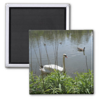 Swan in the Pond Square Magnet