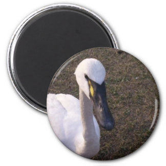 Swan Fridge Magnet