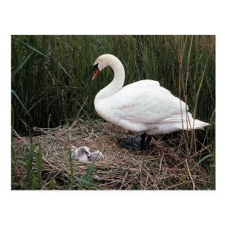 Swan Nest Postcards
