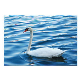 Swan on Blue Waters Photo