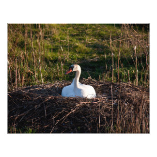 Swan on nest 21.5 cm x 28 cm flyer