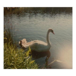 Swan on Pond  Posters