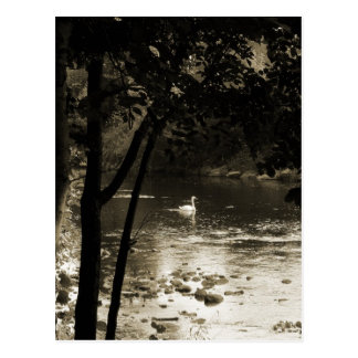 Swan on the River - vertical Postcards