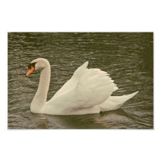 Swan Photo Print