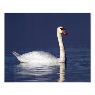 Swan portrait photographic print