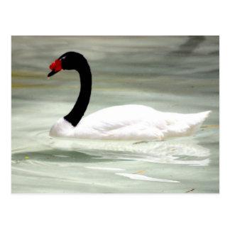 Swan post card