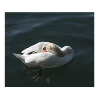 Swan Preening Photo