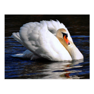Swan Sets Sail Postcard