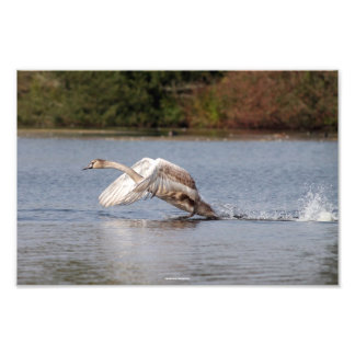 Swan Take-off, Wild Bird Photo
