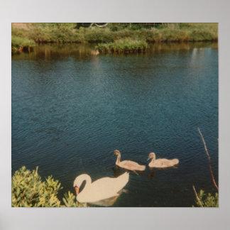 Swan with Cygnets Print