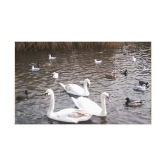 Swans 3 with other water birds Photo Canvas Print