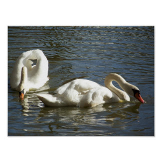 Swans a swimming poster