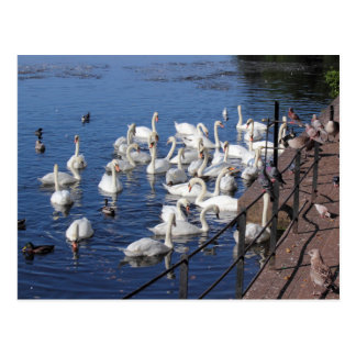 Swans and Other Birds at Roath Park Lake Cardiff Postcard