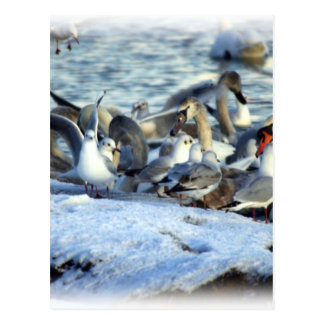 Swans and Seagulls in Winter Postcard
