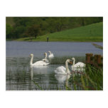 Swans Animal Post Cards