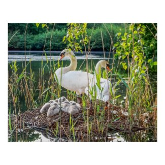 Swans & Cygnets Poster