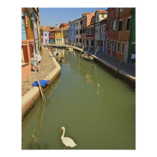 Swans in canal, Burano Island, Venice, Italy Poster