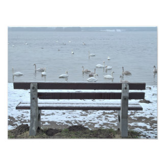 Swans, lake and a bench - photo print