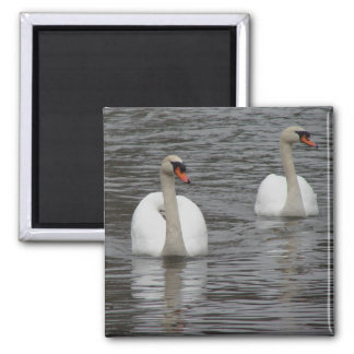 Swans magnet