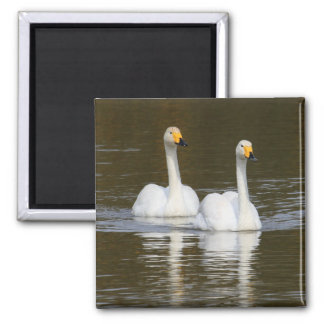 Swans Refrigerator Magnets