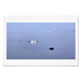 Swans on Lake Monona, Madison Wisconsin II Art Photo
