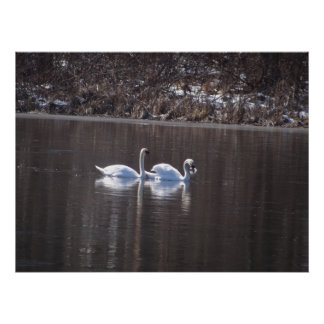 Swans on the pond in Spring Posters