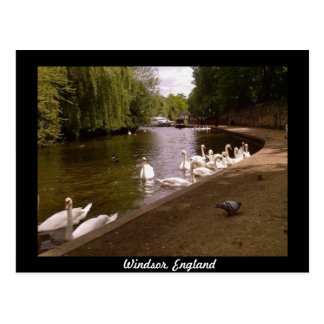 Swans on the River Thames at Windsor Postcard
