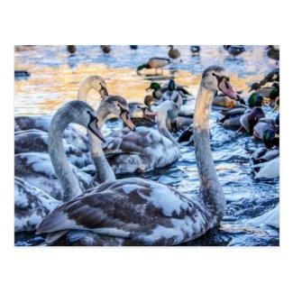 Swans Postcard