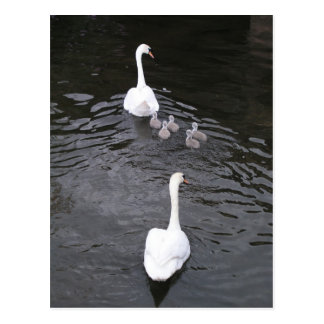 Swans with cygnets postcard