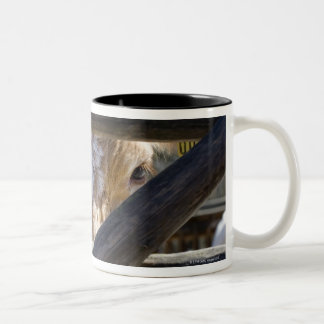 Swedish mountain cattle (Skansen) Two-Tone Coffee Mug