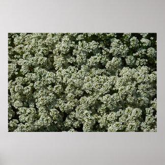 Sweet Alyssum Flowers Poster