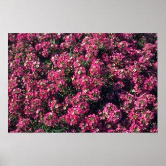 Sweet Alyssum (Lobularia Maritima) flowers Print