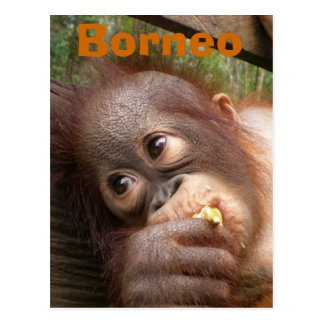 Sweet Baby Orangutan Post Cards