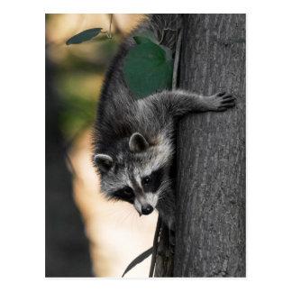 Sweet Baby Raccoon Postcard