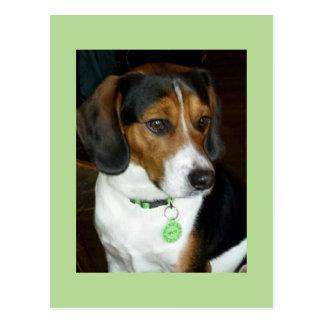 Sweet Beagle named Spot Postcard