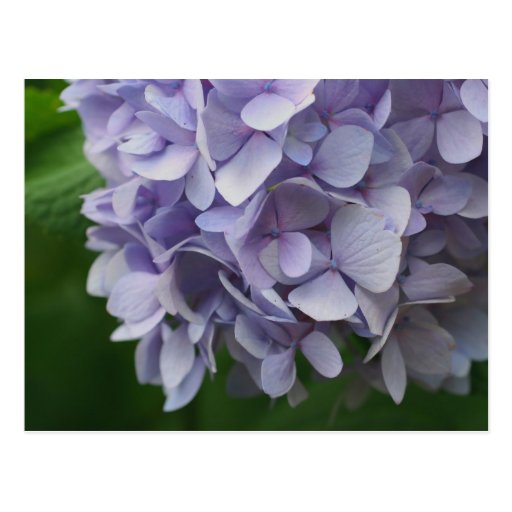 Sweet Blue Hydrangea Flower Photo Postcard