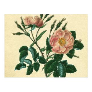 Sweet Briar Rose Postcard